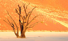 dead acacia tree in desert